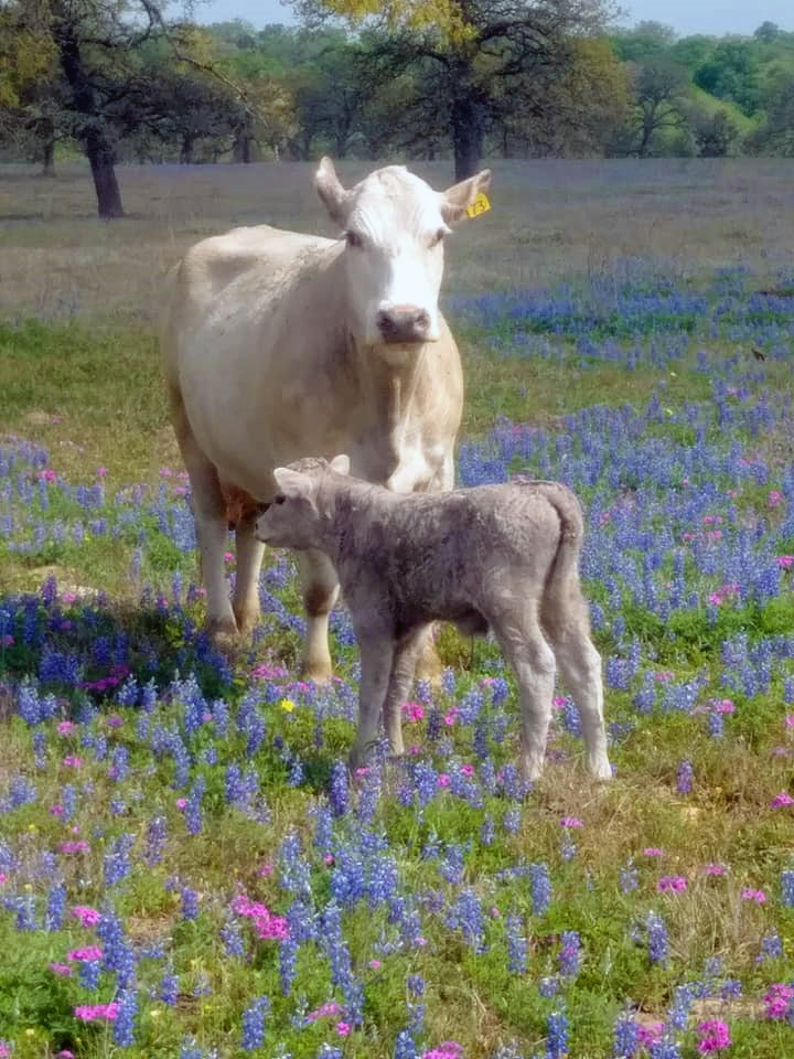 Watterson Ranch Cow Calf Bluebonnets