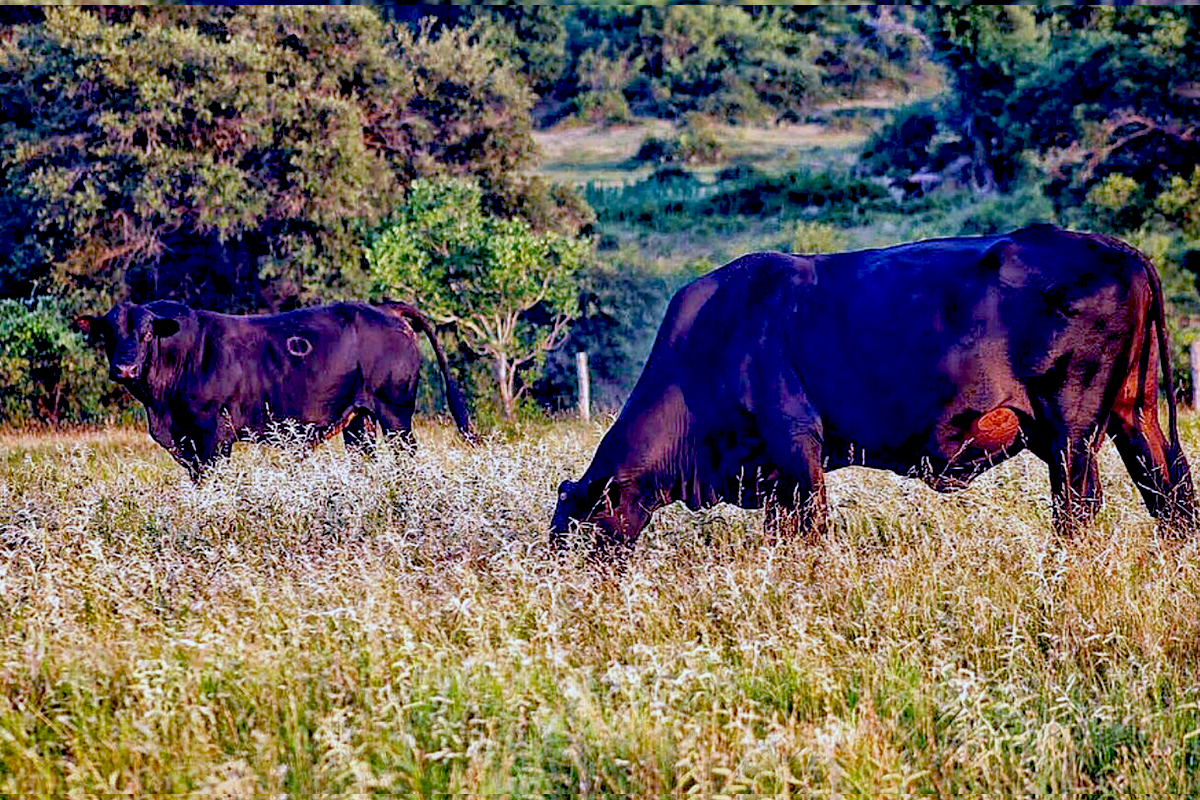 Watterson Ranch Black Cows